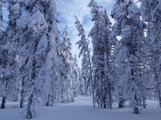 voyage de noces en Laponie finlandaise - forêt