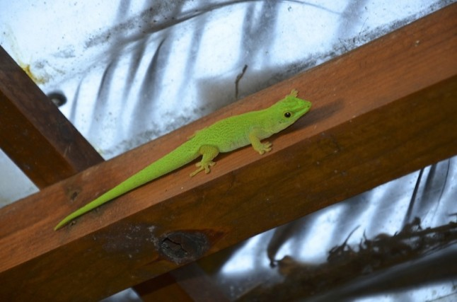 Lézard vert voyage de noce aux Seychelles
