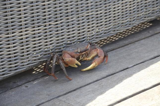 crabe des Seychelles voyage de noce