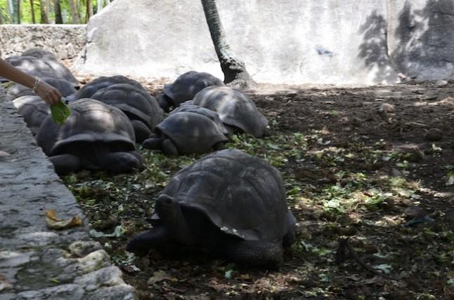 tortues voyage de noce aux Seychelles