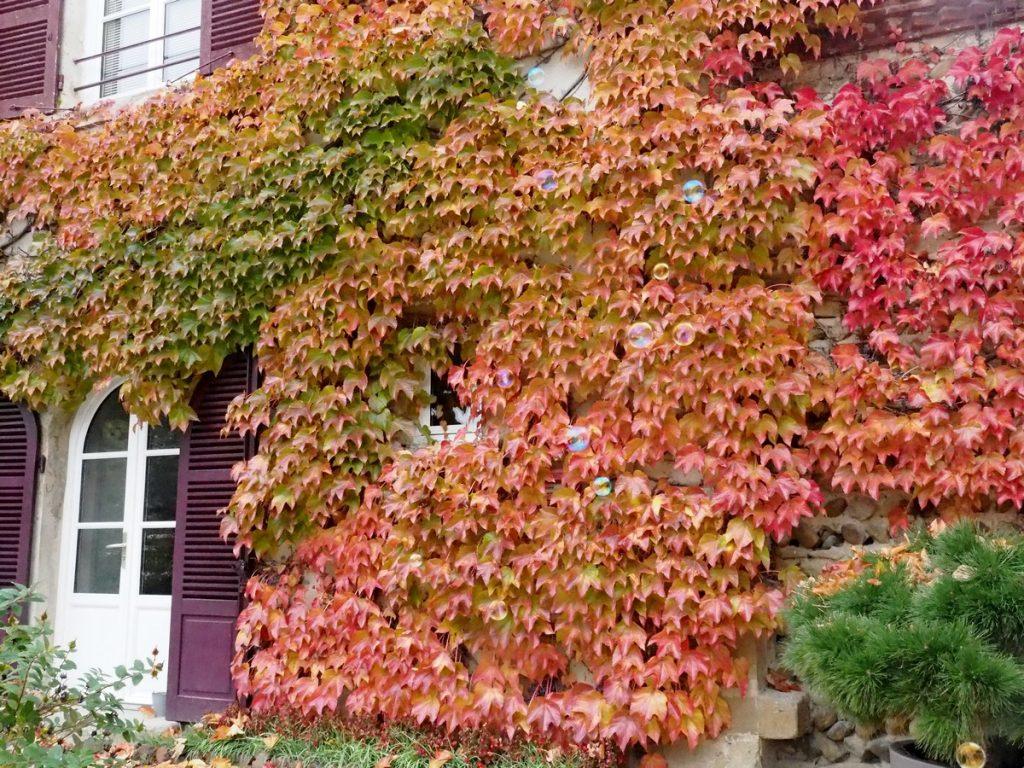Feuillage d'automne sur la façade de Grand Maison